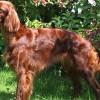 The LUCK of the  Irish Dog Breeds